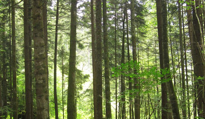 Wald mit hohen Bäumen